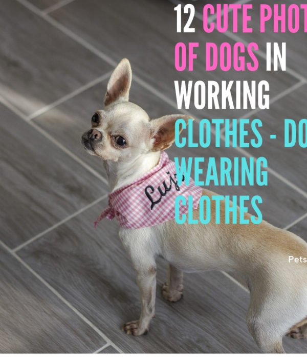 12 Cute Photos of Dogs in Working Clothes – Dogs Wearing Clothes