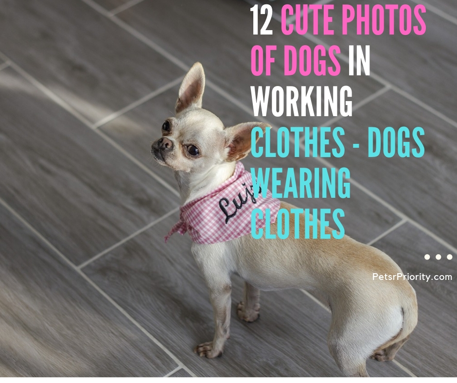 12 Cute Photos of Dogs in Working Clothes - Dogs Wearing Clothes