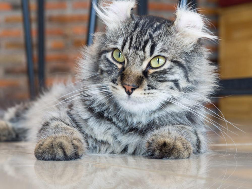 American curl cat photo