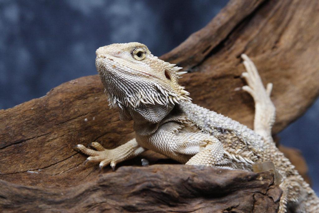 Bearded dragons climbing