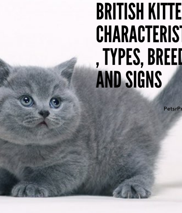 British Kitten – Characteristics, Types, Breed, and Signs