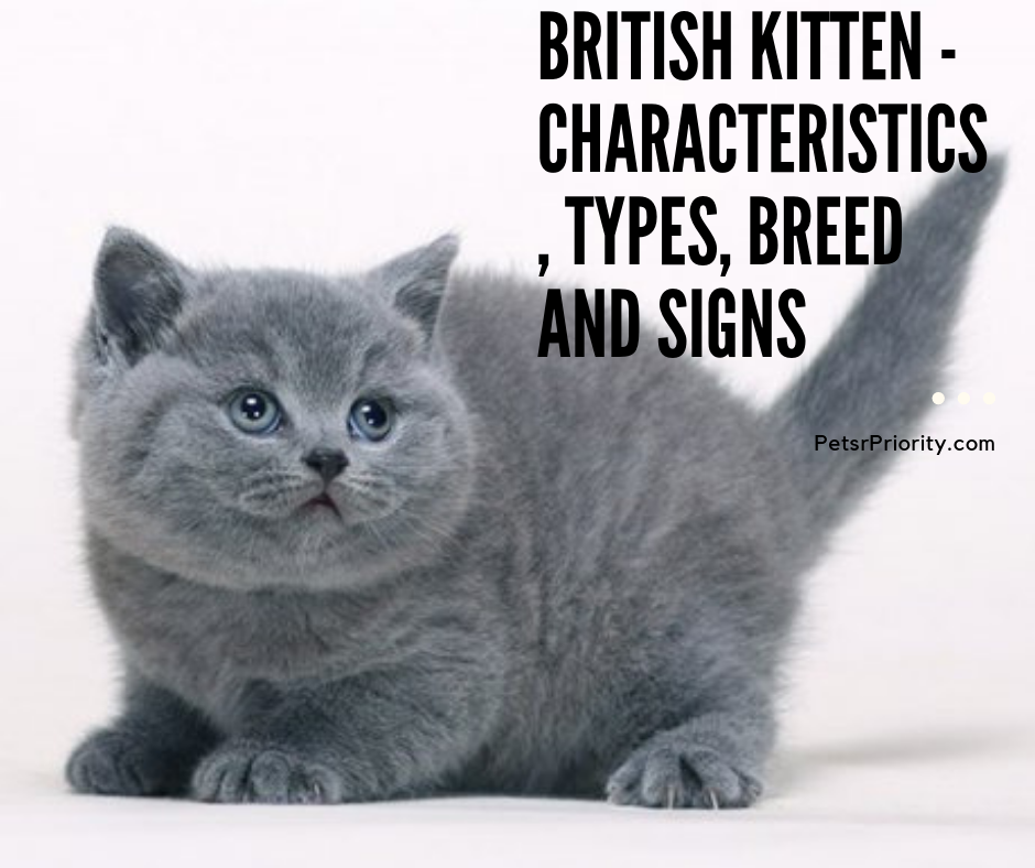 British Kitten - Characteristics, Types, Breed and Signs
