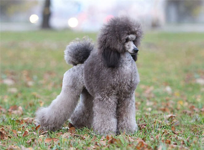 Care and maintenance - Standard Poodle