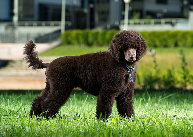 Character and intelligence Poodle