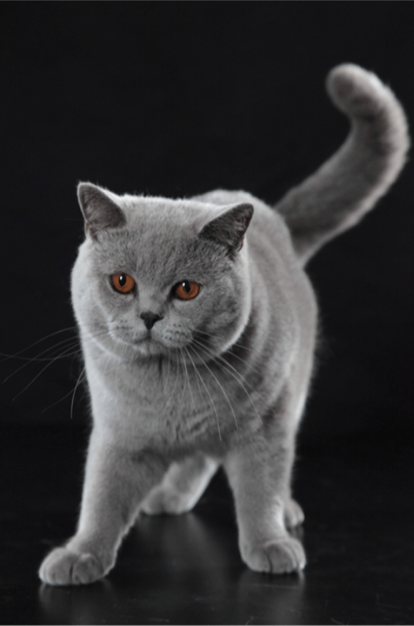 Characteristics of the British Shorthair CAts