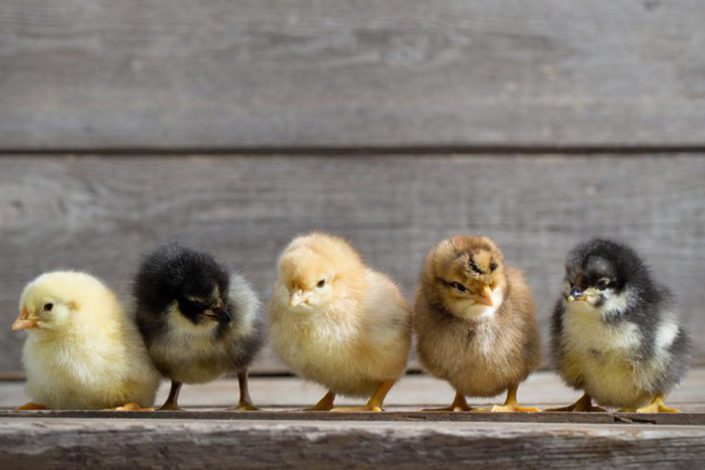 Chicks and ducklings standing beside each other