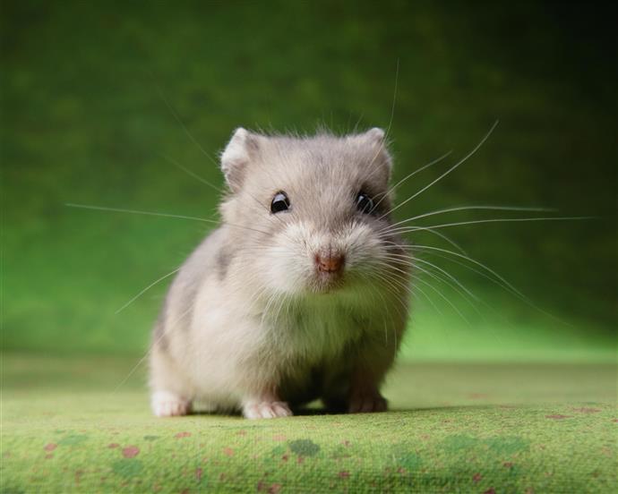 Choosing a home hamster