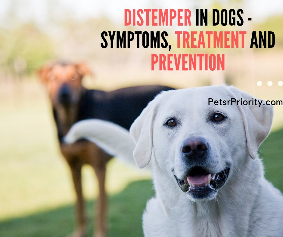 Distemper in Dogs - Symptoms, Treatment and Prevention