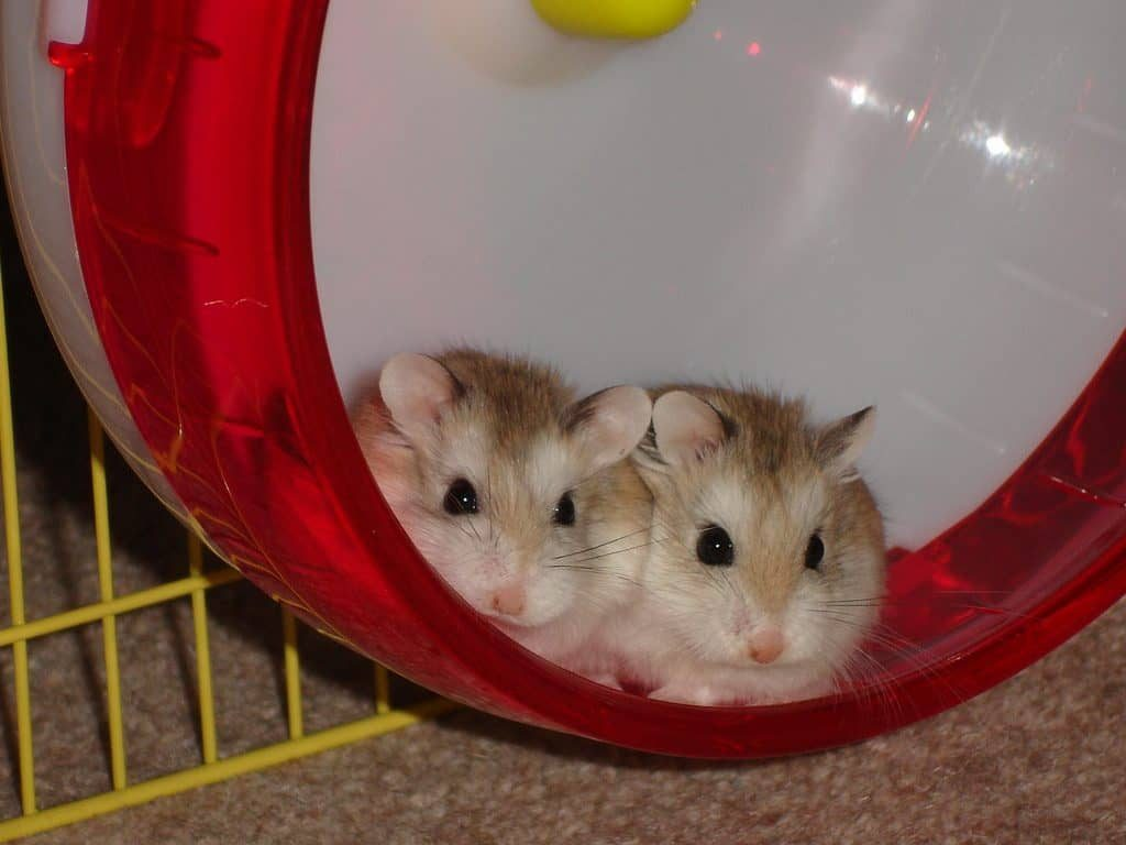Do Some Dwarf Hamsters Live Together Peacefully