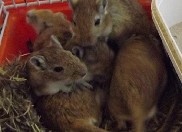 Do you prefer a hamster or gerbils