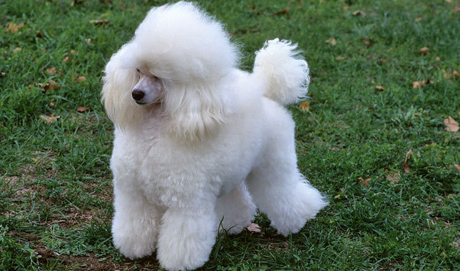Domestic poodle