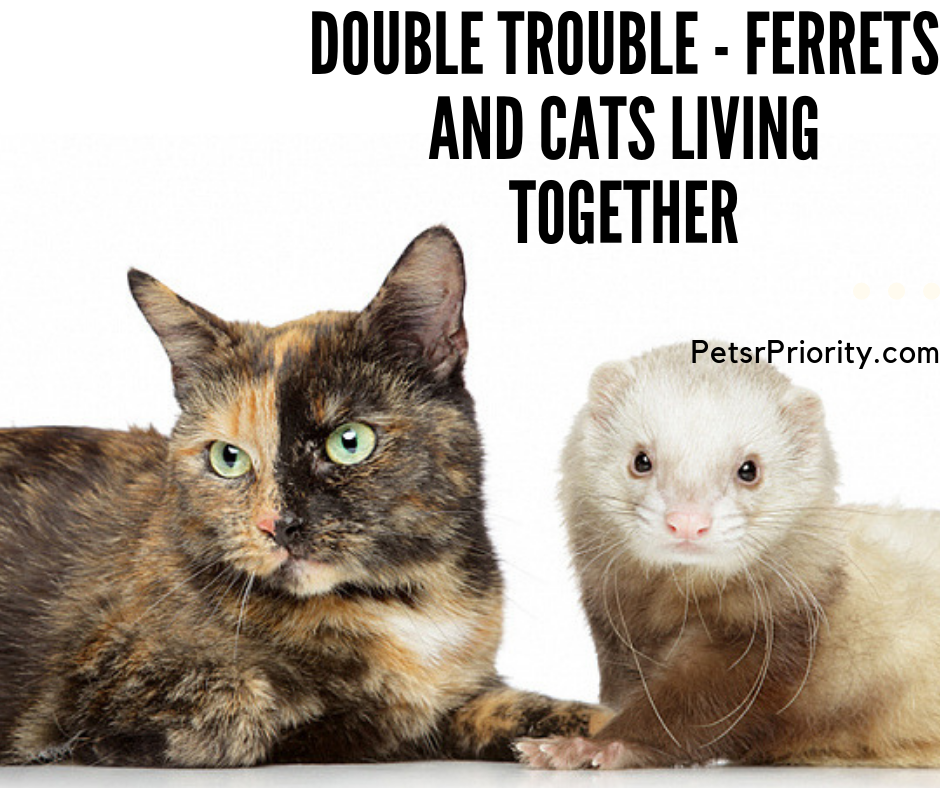Double Trouble - Ferrets and Cats Living Together