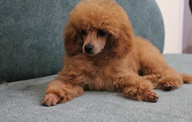 Dwarf Standard Poodle