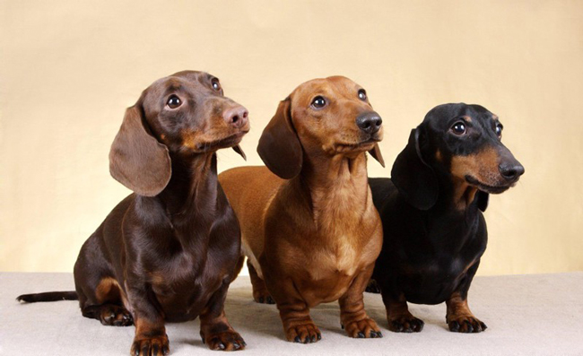 Features, Care and Health of Mini Dachshunds