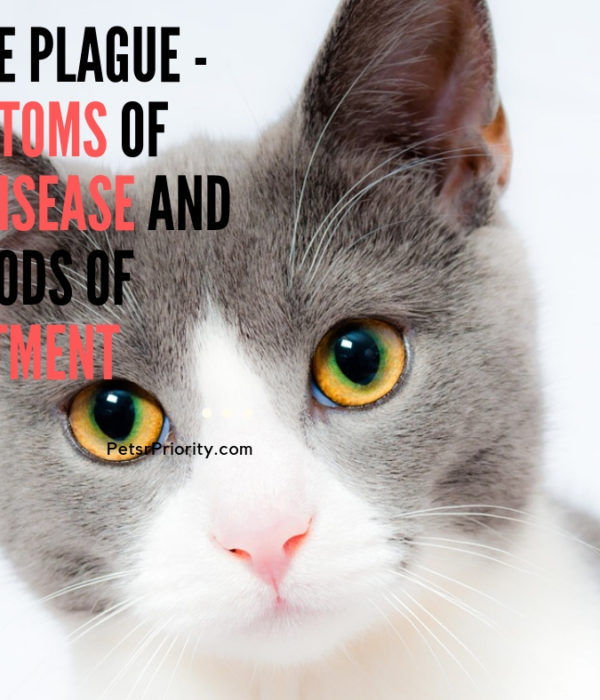 Feline Plague - Symptoms of the Disease and Methods of Treatment