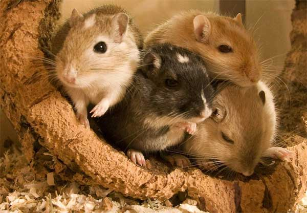 Hamster-and-Gerbil-species