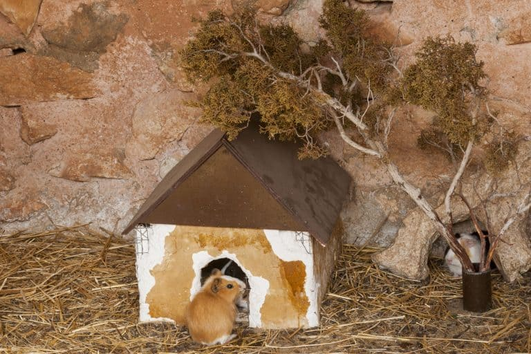 Hamster-in-front-of-cottage