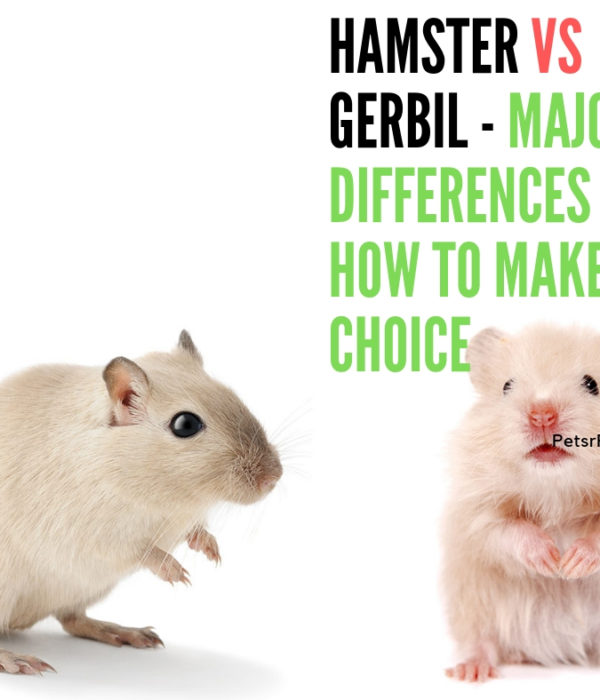 Hamster vs Gerbil – Major Differences and How to make a Choice