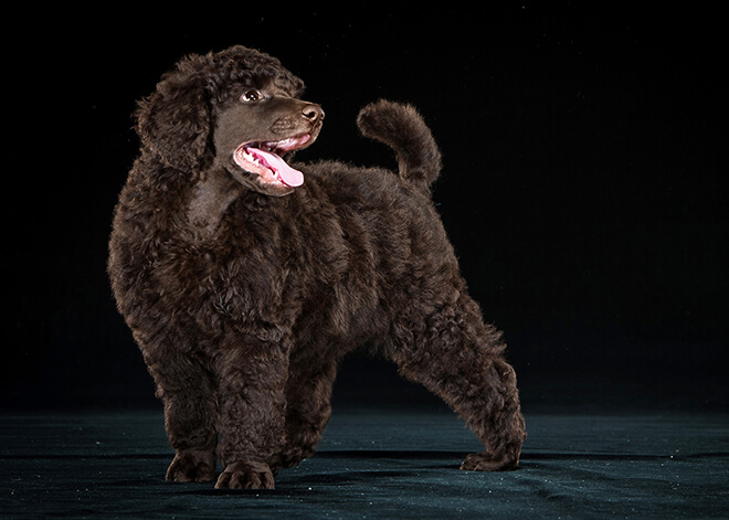 Health and Disease-Associated with Royal Breed Poodle