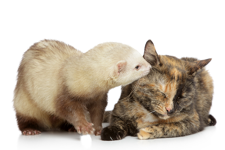 Cat and ferret plays on a white background