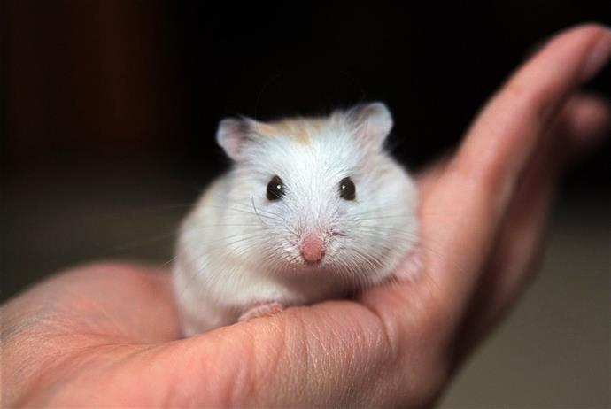 Make sure the hamster you choose is healthy