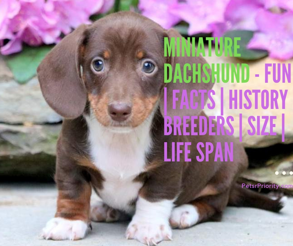 Miniature Dachshund - Fun Facts History Breeders Size Life Span