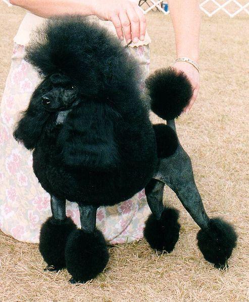 Miniature Poodle black color