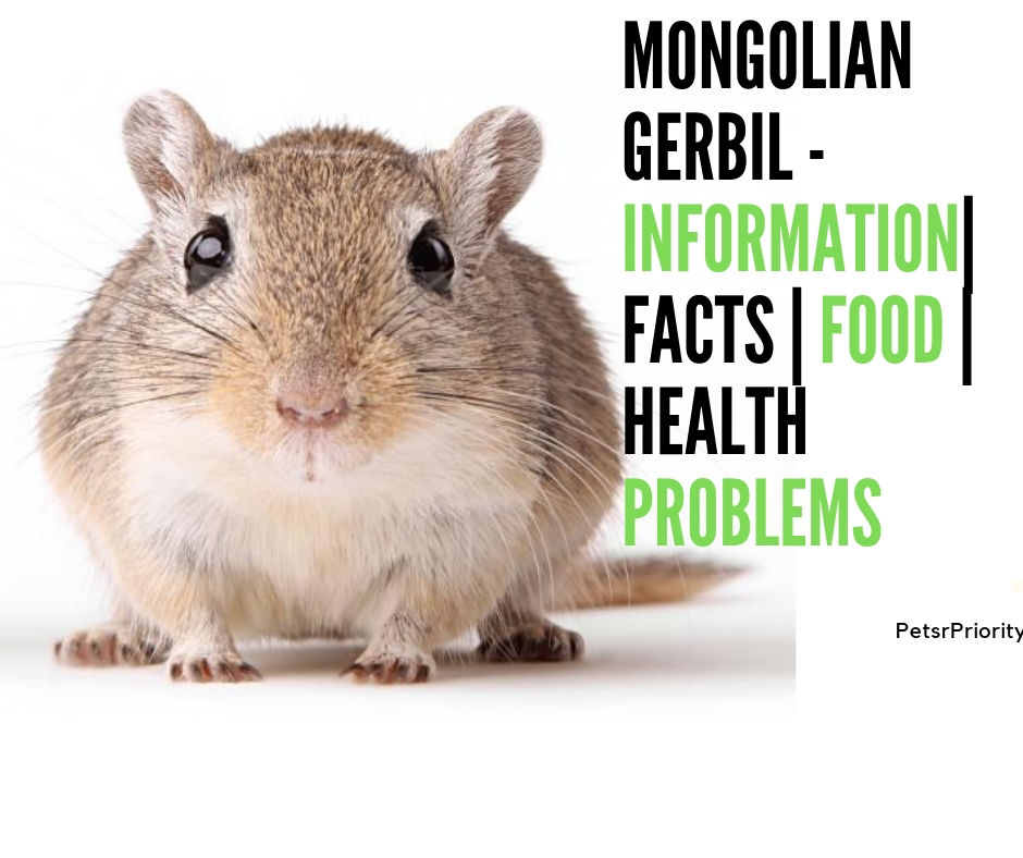 Mongolian gerbil – Information| Facts | Food | Health Problems| Sex