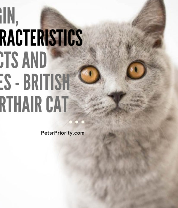Origin, Characteristics, Facts, and types – British Shorthair Cat