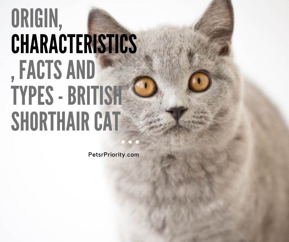 Origin, Characteristics, Facts and types - British Shorthair Cat