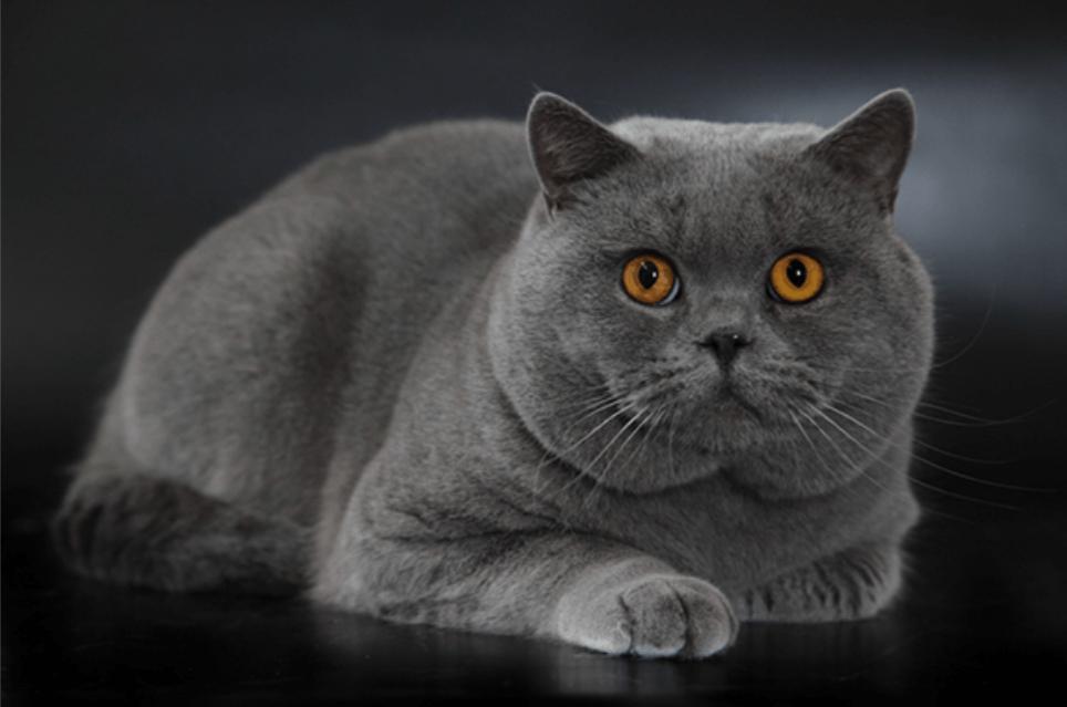 Origins of the British Shorthair Cats