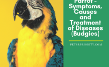 Parrot – Symptoms, Causes and Treatment of Diseases (Budgies)