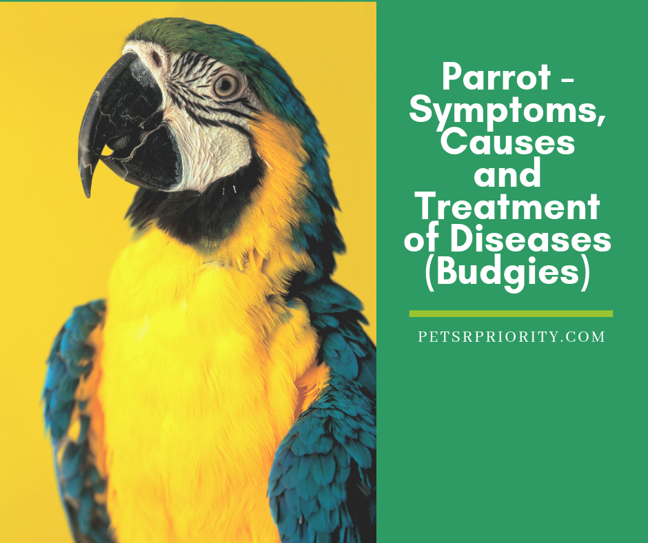 Parrot - Symptoms, Causes and Treatment of Diseases of Budgies