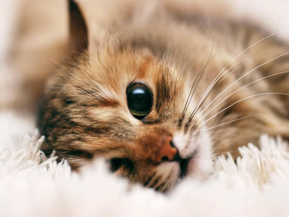 Photo-of-American-Bobtail-cat-race