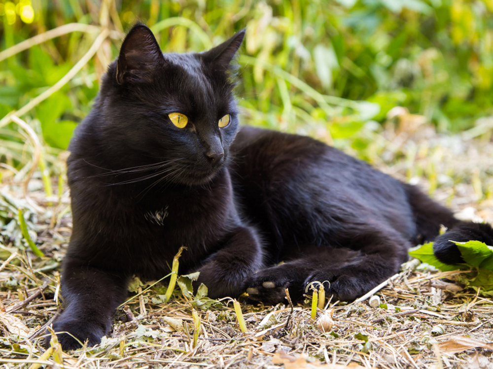 Photo-of-Bombay-cat