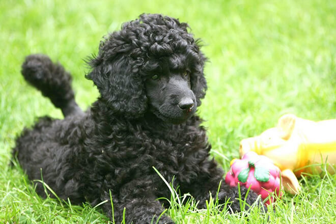 Pros and cons of Standard Poodle Breed
