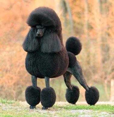 Royal poodle rich black color type