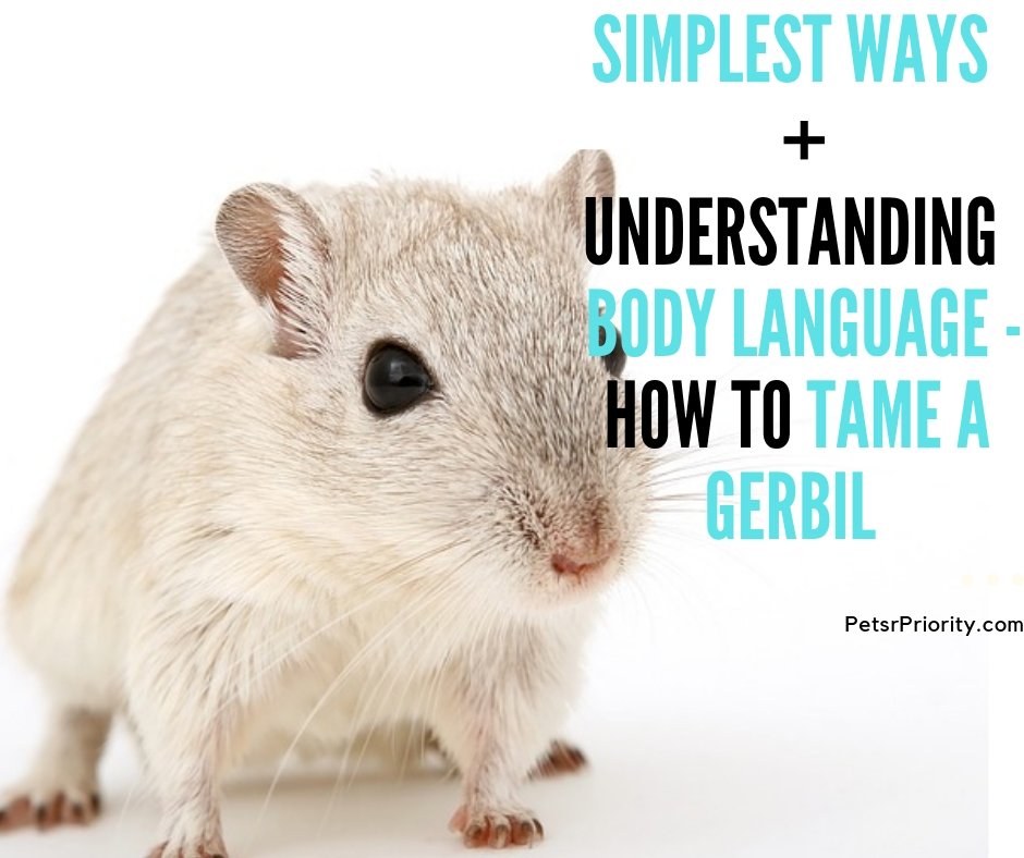 Simplest ways + Understand Body Language – How to tame a gerbil?