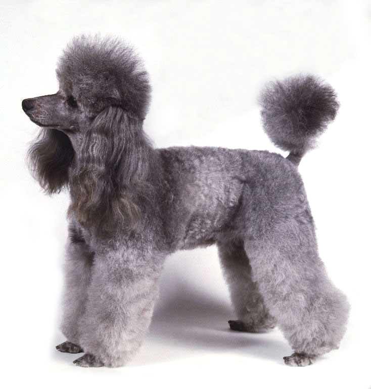 Small poodle Grey color poodle