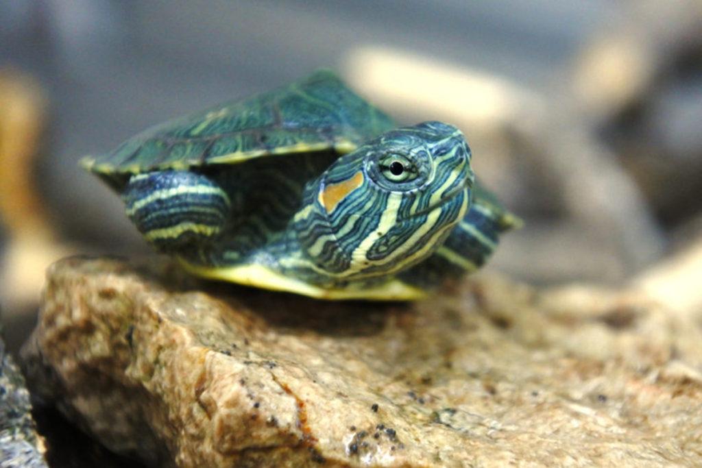 Small turtles walking
