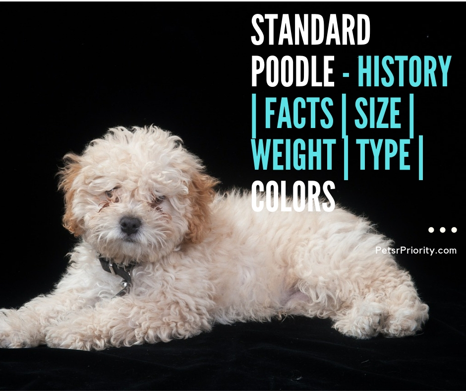 Standard Poodle - History Facts Size Weight Type Colors