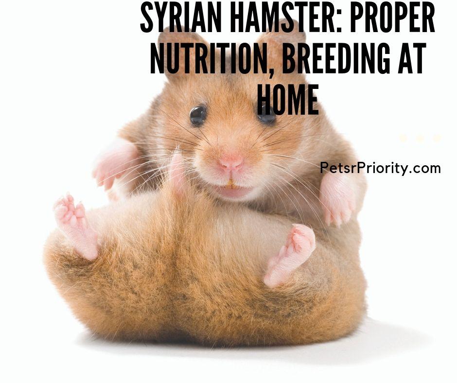 Syrian hamster - Proper Nutrition, Breeding at Home