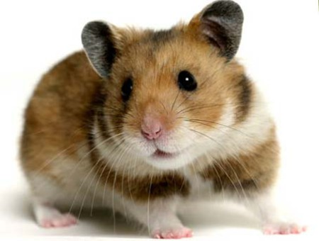 Syrian hamster looking calm