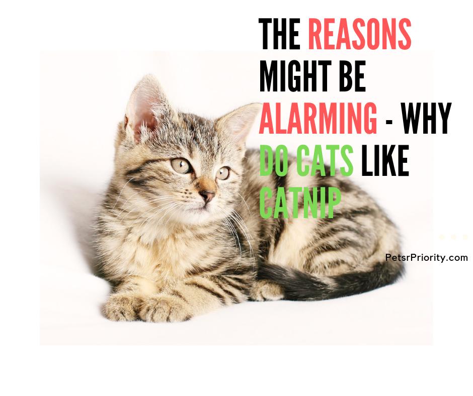 The Reasons Might Be Alarming - Why Do Cats Like Catnip