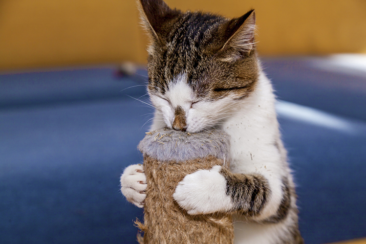 The benefits of catnip for cats