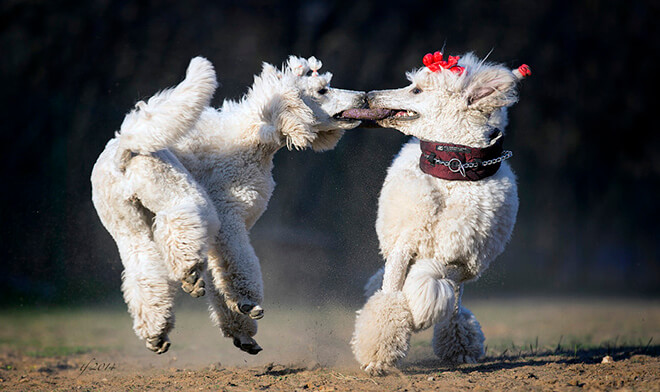 Training and education - Standard Poodles