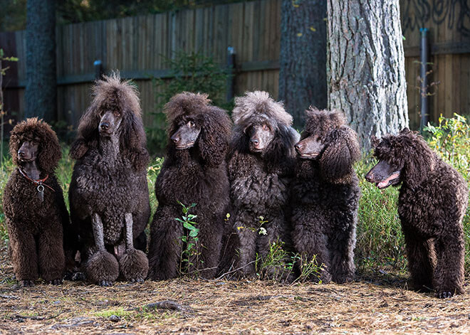 Type of wool Poodle