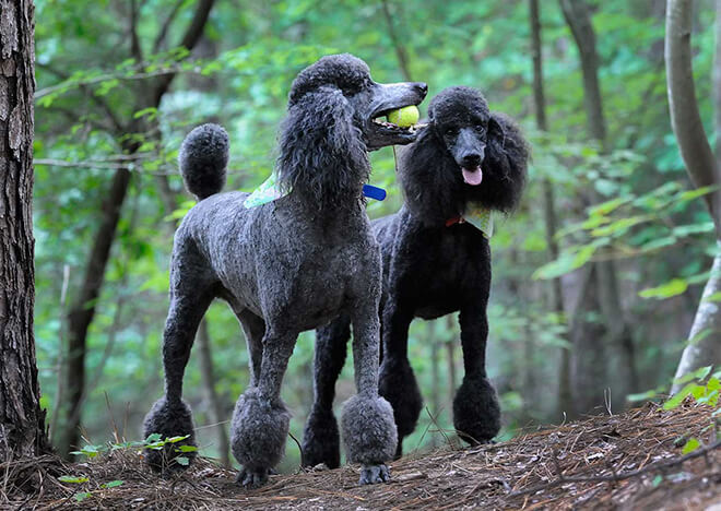Type-of-wool-for-Royal-Poodle