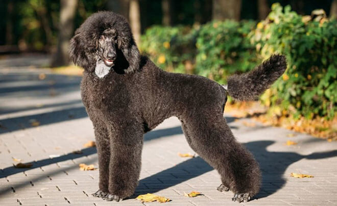 Variety of colors Royal Breed Poodle