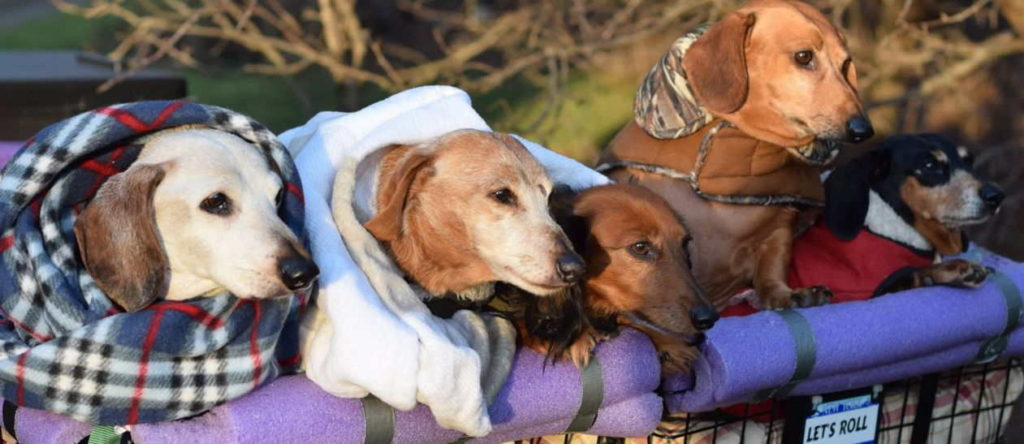 Wool and color of Miniature Dachshund